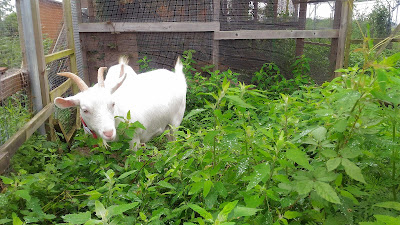 Goat weeding on a solar sharing farm in Tsukuba