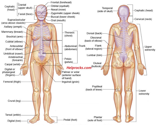 Human body parts name with picture in english pdf