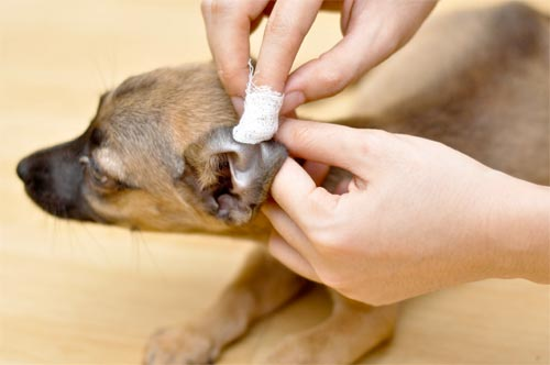 Ini Dia Obat Telinga Anjing yang Efektif, Mudah, dan Aman Digunakan