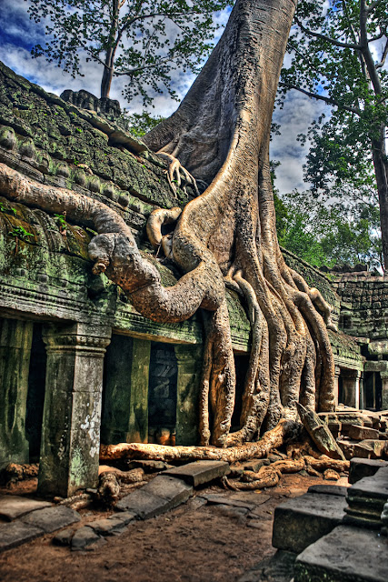 Giant fig growing at the temple of angkor