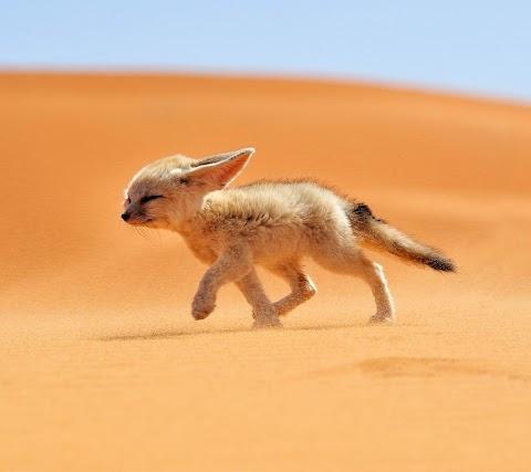 Cáo Sa Mạc
