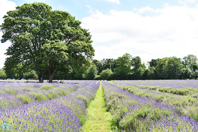 Mayfields Lavender Fields, Londres