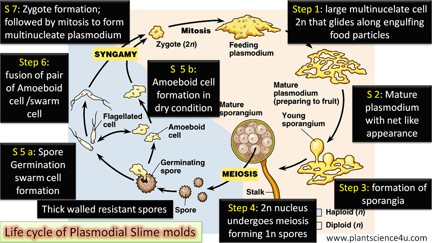 Life Cycle of Plasmodial Slime molds Simple Step Wise Explanation