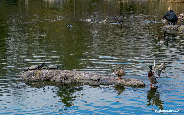 Patos e tartarugas na lagoa do Central Park, Nova York