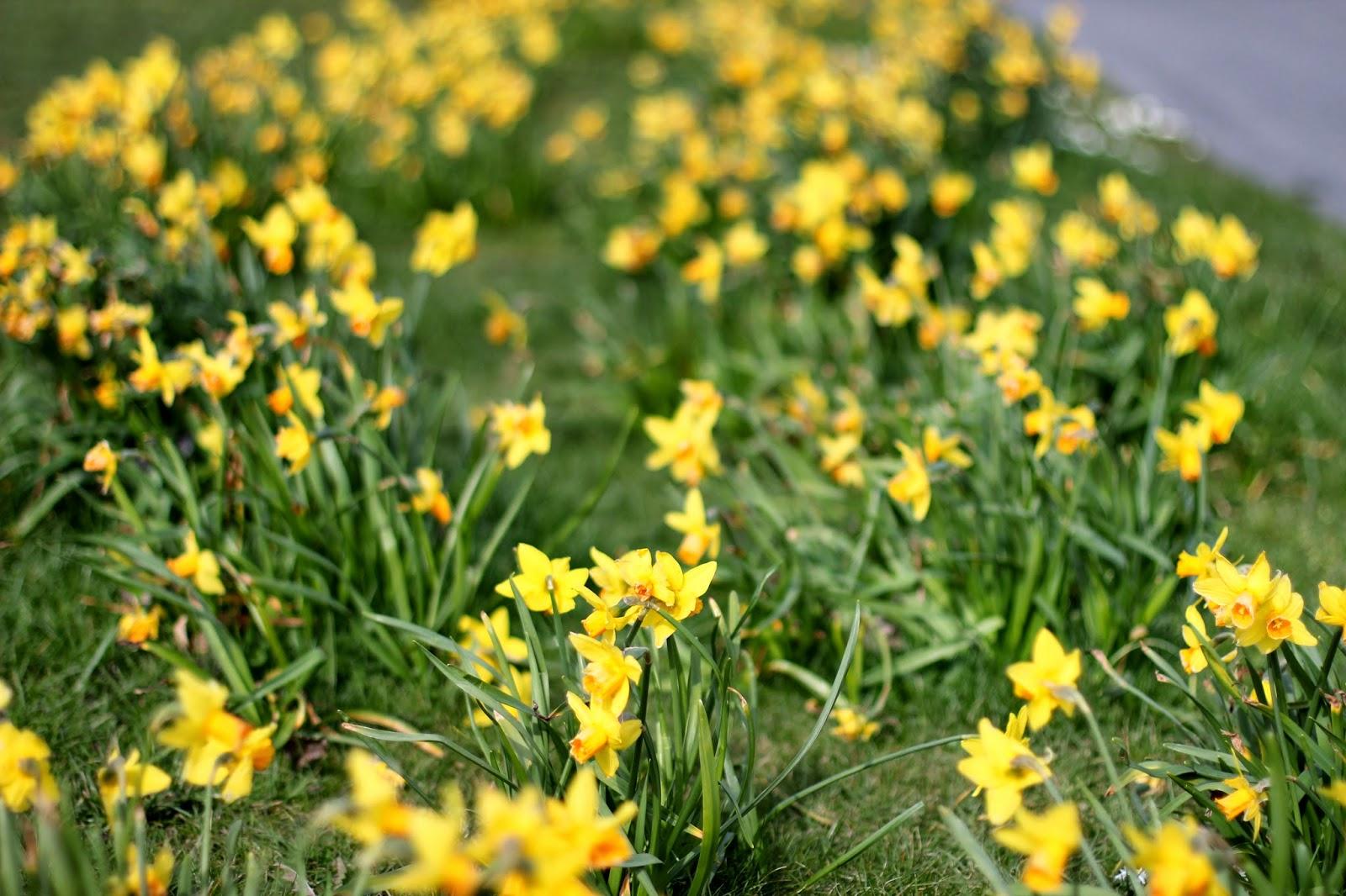78646d0da823 Överallt ser man små gula fält. Underbart. Här är det mini daffodils som  växer, men i vår familj kallas de dillydafs. Fråga mig inte varför!