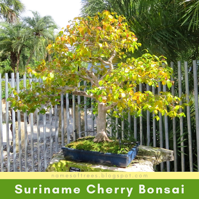 Suriname Cherry Bonsai