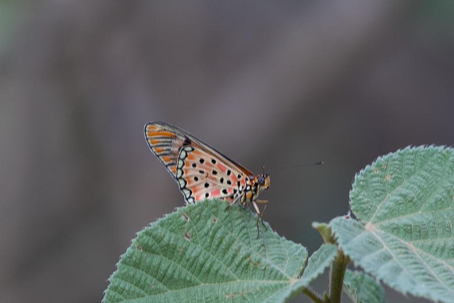Doubleday Acraea