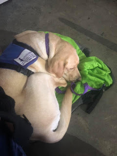 A yellow Labrador retriever in a purple service dog harness is curled up in a ball on a bright green blanket.