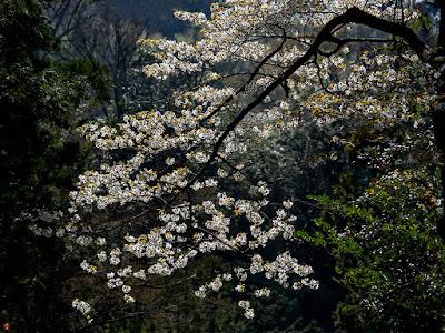 Yama-zakura (Prunus jamasakura) flowers: Engaku-ji