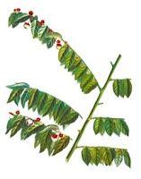gambar ilustrasi daun katuk