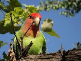 Pakan Lovebird Yang Wajib Digunakan Agar Gacor