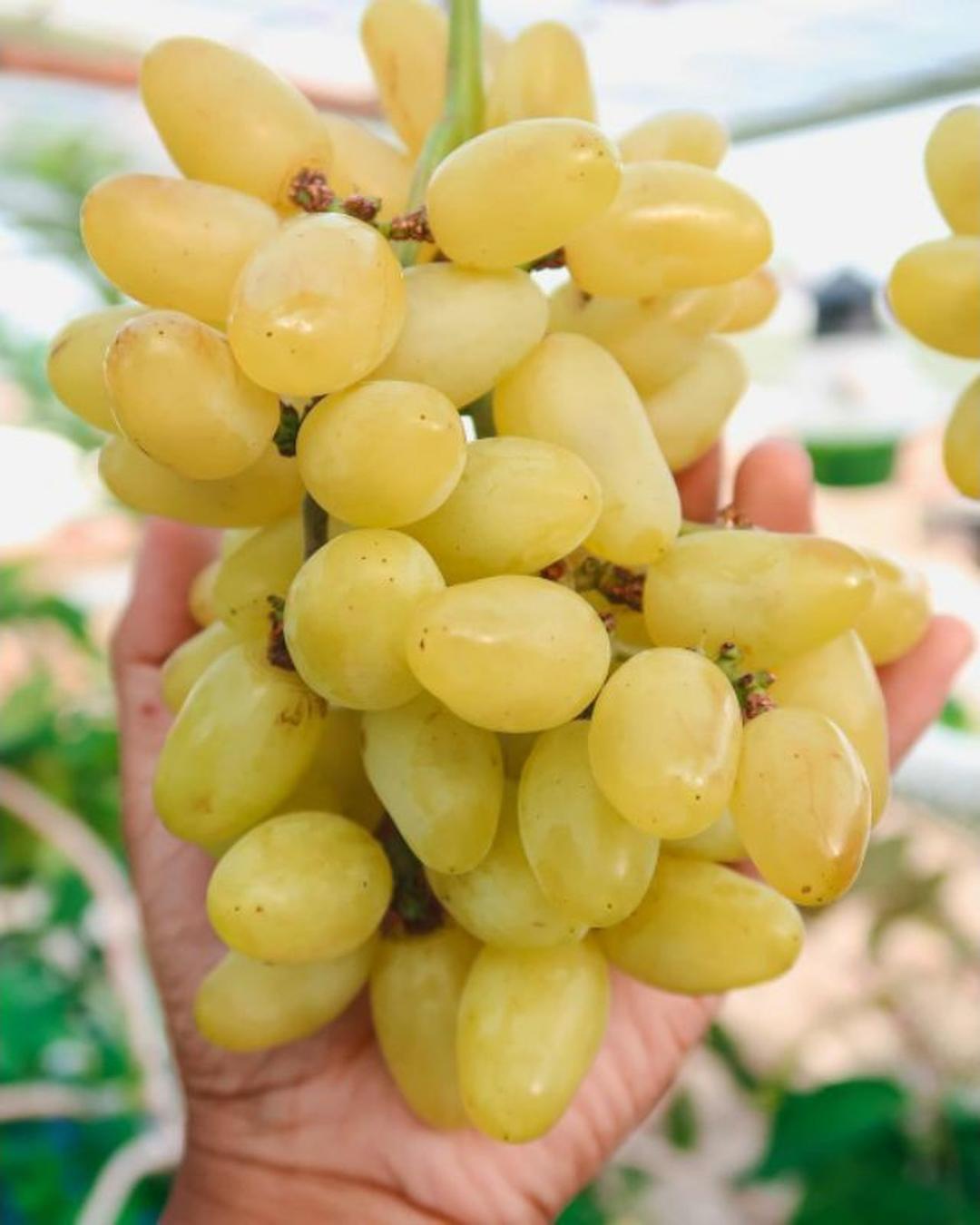 Jaminan Mutu! bibit anggur impor tranfiguration Kota Malang #bibit buah langka