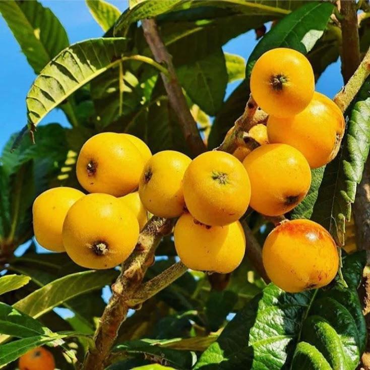 Bibit buah leci biwa leci kuning Sumatra Utara