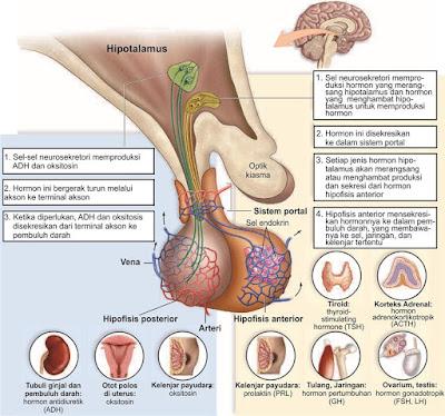 Hipotalamus dan kelenjar hipofisis