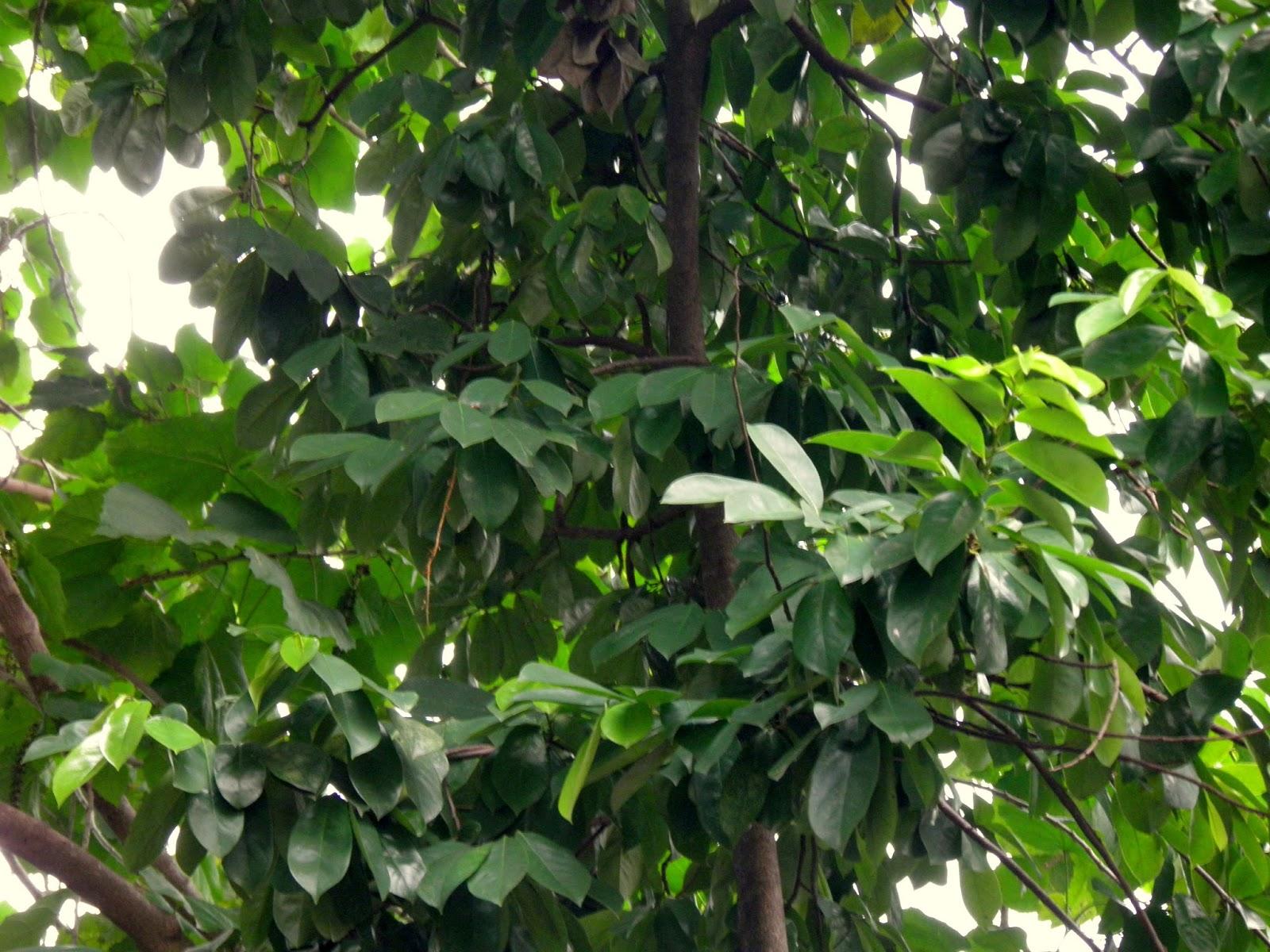 Soursop ( Graviola ) - Tree from Botanical Gardens ...  |Guyabano Tree
