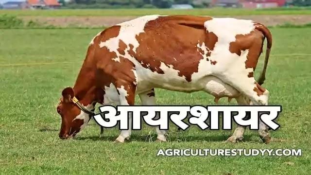 आयरशायर नस्ल की गाय की पूरी जानकारी