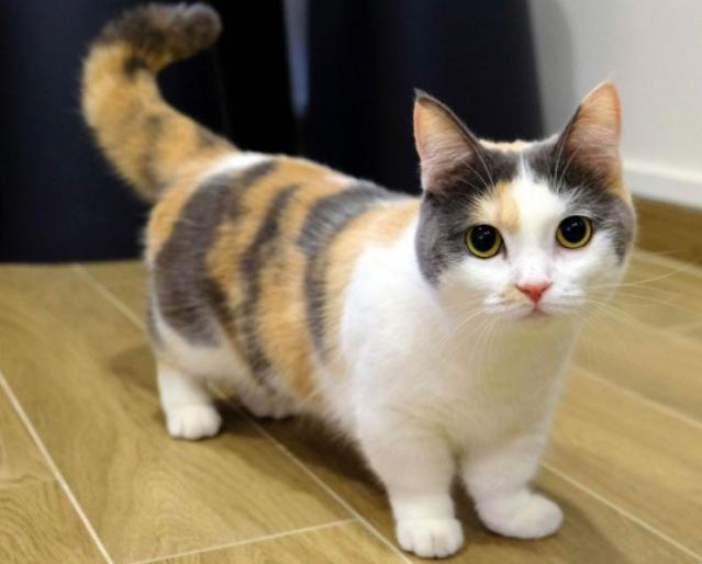 harga kucing munchkins