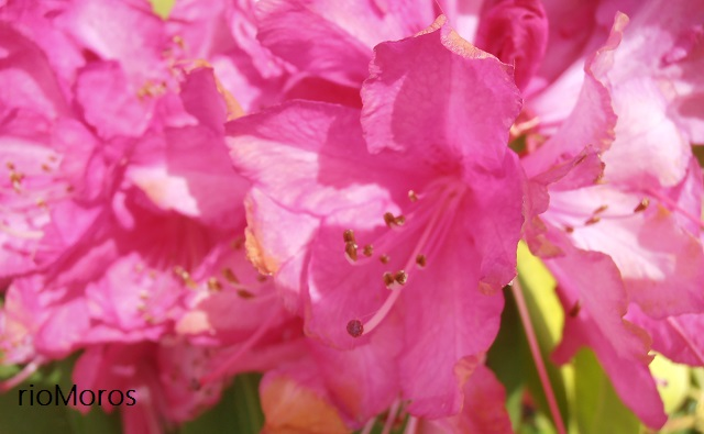 Flor de RODODENDRO Rhododendron arboreum