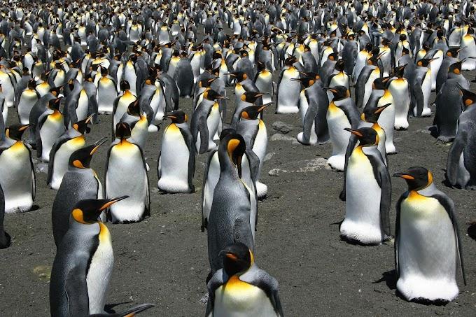 IMAGENS DE SATÉLITE REVELAM COLÔNIAS DE PINGUINS DESCONHECIDOS
