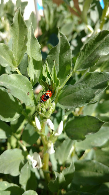 More Copulating Ladybugs