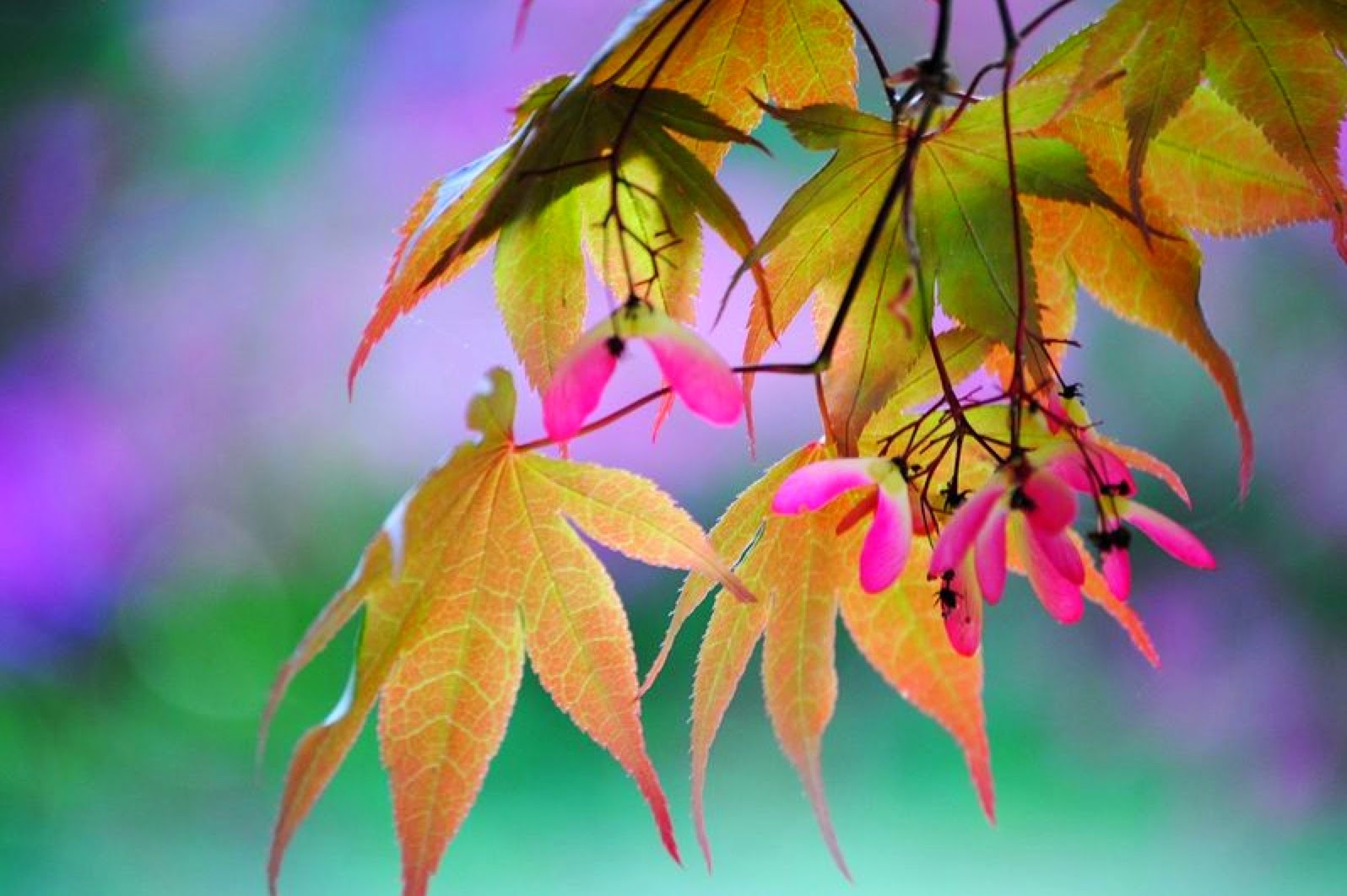 Japanese Maple Rainbow, Mary Ellen Golden, The Golden Gallery