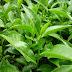 Cách làm bột trà xanh, trà matcha đơn giản nguyên chất