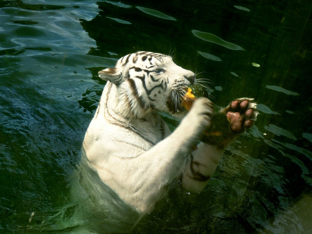 HD Wallpapers: Cute Tiger Background