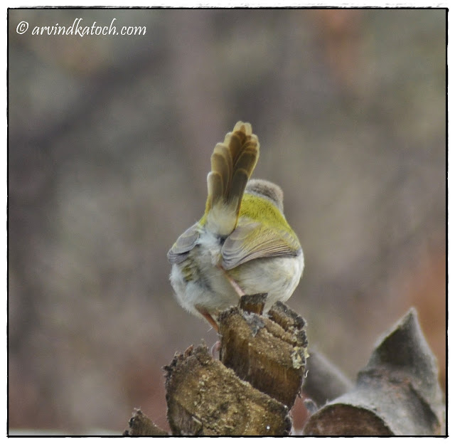 Back View, Tailor Bird