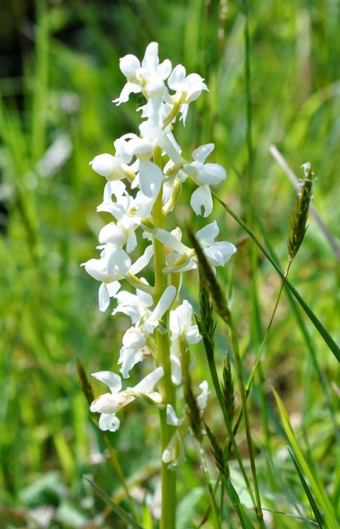 Fleurs lâches blanche