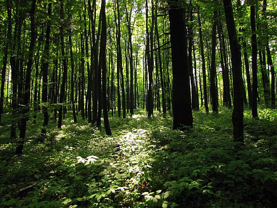 Las na Suchej Górze.