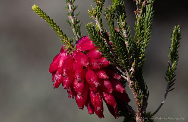 Flowers Kirstenbosch National Botanical Garden © Vernon Chalmers Photography