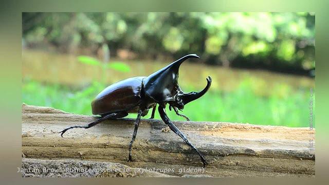 Brown Rhinoceros Beetle (Xylotrupes gideon).