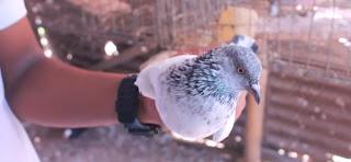fancy kobutor palon| fancy pigeons