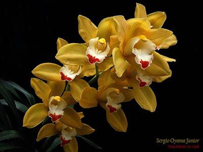 Orquídea Cymbidium híbrida