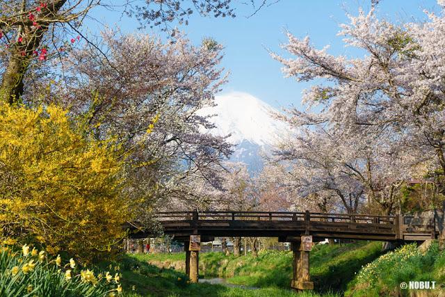 新名庄川(忍野村)からの富士山と桜