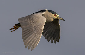 Night Heron in Flight Diep River Woodbridge Island Vernon Chalmers Photography