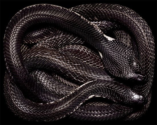 Animals world: Black cobra snakes