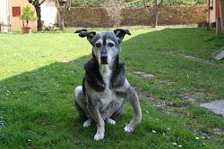 commissaris rex hond