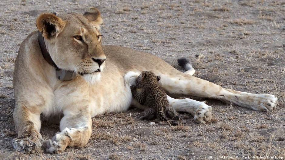 Wild lion caught on camera nursing leopard cub