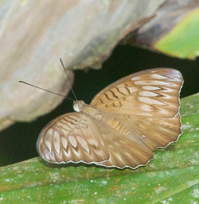 Tanaecia cf orphne