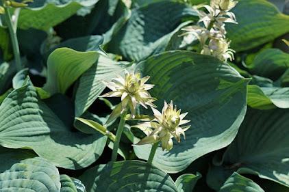 Green leafed hosta plant in bloom