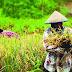 Kouta Pupuk Subsidi di Pasbar Turun, Target Produksi Padi Tetap Stabil