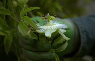 A honeysuckle flower