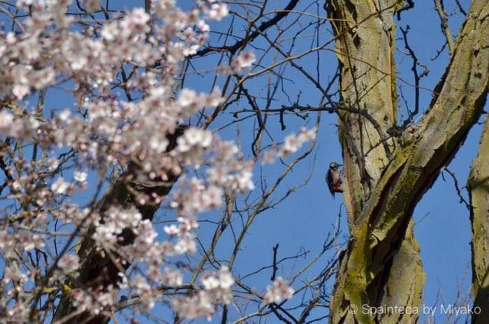 スペインのマドリードの公園のキツツキとピンクの花をつけたアーモンドの木