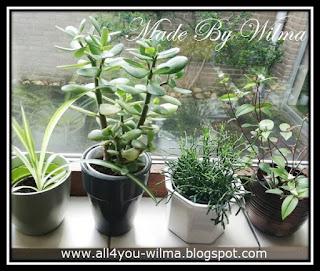 Foto van diverse stekjes op de vensterbank in de keuken. Photo of various cuttings on the windowsill in the kitchen.