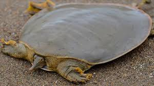 Turtle: Only 4 left in the world