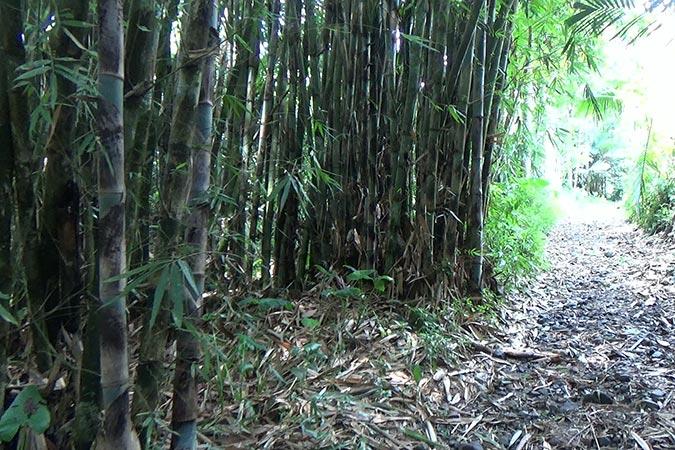 Dlium Tali bamboo (Gigantochloa apus)