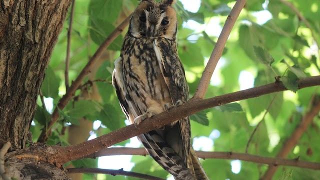 Kulaklı Orman Baykuşu Şanlıurfa'da görüntülendi