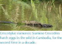 https://sciencythoughts.blogspot.com/2020/02/crocodylus-siamensis-siamese-crocodiles.html