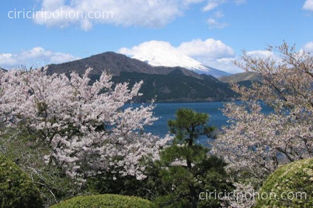 Ciri Ciri Pohon Sakura Tertua